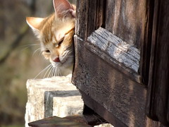 Hidden kitten (vegeta25) Tags: pet nature animal cat kitten fuji hidden fujifilm myfuji mothernatureatherbest s3200 115picturesin2015 52weeksthe2015edition week122015 weekstartingthursdaymarch192015