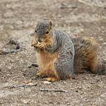 Squirrels at the Ross Bur Oak Tree - University of Michigan (March 26, 2015) thumbnail