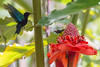 2014/08/13 13h18 colibri et sucrier 2 (Valéry Hugotte) Tags: bird hummingbird martinique oiseau balata colibri jardindebalata sucrier