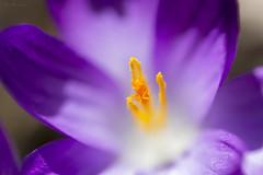 Crocus Stamen (Bored Koi) Tags: flower canon spring purple crocus canon100mm28lmacro canoneosrebelt3i