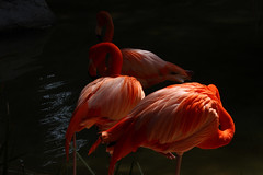 look away (ranchodon) Tags: canon 7d flamingo plumage bird wading 1500v60f