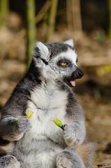 Ring-Tailed Lemur (Mathias Appel) Tags: cute feet germany deutschland zoo eyes hands nikon adorable ring lemur tierpark madagascar tailed hände niedlich katta madagaskar lemuren kattas füse d7000
