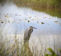 Bird (Gabriel Berg) Tags: park usa bird nature water animal sitting florida national everglades