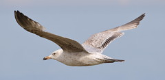 Herring Gull 4 20160507 (Steve TB) Tags: bird canon bif herringgull birdinflight broadstairs eos7dmarkii