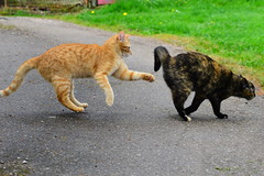 Attrape moi - Catch me (Corinne Lejeune Girot) Tags: red cat garden ginger friend kitten chat play jardin ami roux jeu