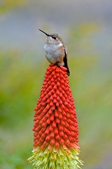 Contentment (Aurora Santiago Photography) Tags: hummingbird redhotpoker torchlily rufoushummingbird selasphorusrufus knophofiacaulescens