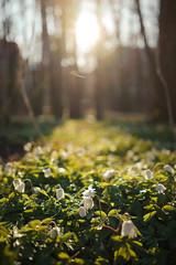 Good Morning Spring! (trm42) Tags: morning sun nature suomi finland spring helsinki dof lauttasaari aurinko kevt campanularotundifolia aamu kissankello