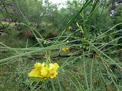 retama_50597 (San Marcos Greenbelt Alliance) Tags: flowercloseups ringtailridge sanmarcosgreenbeltalliance smgaphotobylancejones