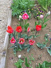 Tulips (isisjem22) Tags: may 2016 project365 project366 mycottagegarden
