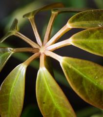 Pentax K-1 Macro Tests, A walk through the garden and woods with the Pentax-FA 50mm f/2.8 macro (B. Gohacki) Tags: plants macro digital forest pentax flash dslr ricoh strobe k1 schefflera 50mmf28 umbrellaplant smcpentaxfa