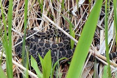 Eastern massasauga (U.S. Fish and Wildlife Service - Midwest Region) Tags: eastern massasauga rattlesnake sistrurus catenatus state wildlife grant restoration program michigan illinois dnr research study habitat spring piousness wetland wildlifesportfishrestoration reptile snake mi nature