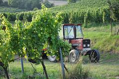 Weinviertel Niedersterreich Falkenstein DSC_0562 (reinhard_srb) Tags: traktor wiese 70s grn sonne niedersterreich falkenstein reben steyr weinstock weinviertel traueben wiengarten