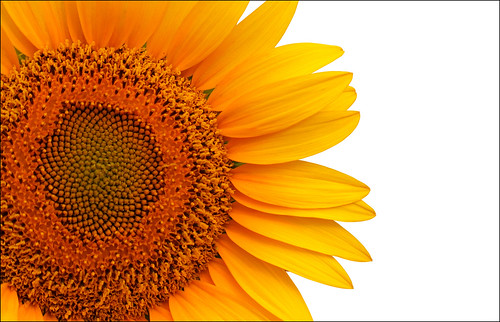 Sunflower- desktop size