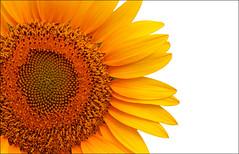 Sunflower- desktop size (Katarina 2353) Tags: desktop summer size sunflower katarinastefanovic katarina2353 canonpowershotg15