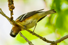 Bay-breasted Warbler - Setophaga castanea (Bill VanderMolen) Tags: ohio bird warbler woodwarbler woodwarblers baybreastedwarbler mageemarsh ohiobirds mageemarshwildlifearea ohiobirding setophagacastanea warblermigratory