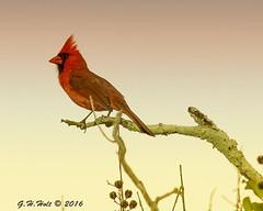 Cardinal 5-18-2016 2 (G. H. Holt Photography) Tags: red bird nc cardinal belmont north carolina desg redbird danielstowebotanicalgardens belmontnc ghholt