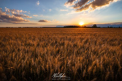 Tramonto (Callegher Marco - The beauty in my eyes) Tags: sunset sun colors field clouds canon gold tramonto wheat campo venezia grano eraclea cloudsky