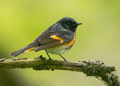 American Redstart (Thomas Muir) Tags: ohio male lakeerie migration oakharbor setophagaruticilla lucascounty mageemarsh tommuir