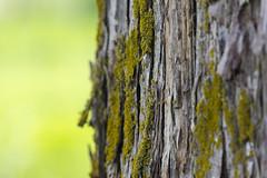 Mossy Tree (adamopal) Tags: macro tree green pinetree canon moss 100mm mossy yellowgreen mossytree macro100mm canon7d canon7dmkii canon7dmarkii