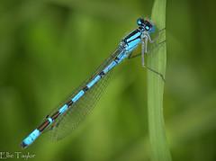 Blue Damselfly (ellie.taylor30) Tags: macro nature nikon sigma sigma105 flickrnature nikonnaturephotography macrodreams