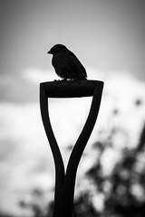 A Wee Sparra. (TrotterFechan) Tags: bird blackwhite sparrow spade