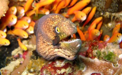black cheek moray eel