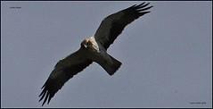 IMG_0838-cropgoeag (ryancarter2012) Tags: golden eagle menorca cala galdana