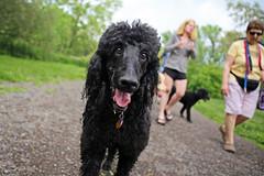 (Jean Arf) Tags: park summer dog ny newyork lauren bea walk rochester poodle nash ellison standardpoodle 2016