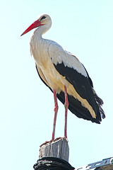 """storch-im-nest • <a style=""""font-size:0.8em;"""" href=""""http://www.flickr.com/photos/137809870@N02/27227485355/"""" target=""""_blank"""">View on Flickr</a>"""