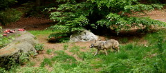 Wolves in the nature reserve 2 (WeatherMaker) Tags: mountain mountains germany bayern bavaria bayerischerwald