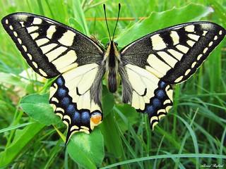 Butterfly 925