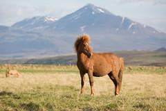 The Icelandic horse (Corey Hayes) Tags: iceland horse mammal nature coreyhayes trip mountains wow