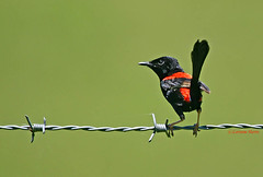 Male Red-backed Fairy-wren (aussiegypsy_top end Northern Territory) Tags: red wild black male green bird nature grass animal fence outdoors back wire colorful view adult bright outdoor head background wildlife small north australian australia blurred fairy parent tiny queensland tropical wren colourful aussie barb common grassland endemic barbed far backed tropics thick tallgrass dense atherton fenceline birdlife fnq undergrowth athertontablelands fairywren blackheaded redbacked malurusmelanocephalus tnq lorraineharris