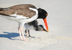Feeding the Baby (KoolPix) Tags: beach nature animal sand feathers babybird oystercatchers nationalgeographic naturephotography beaks youngbird naturephotos amazingnature jayd naturephotographer fantasticnature animalphotographer koolpix jdiaz colorfulbirdbeak wonderfulbirdphotos oystercatcherbaby jaydiaz jaydiaznaturephotographer wcswebsite nickersonbeachny