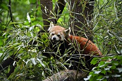 Red Panda in the shrubs (Photography by Eric Hentze) Tags: red color rot nature animal germany deutschland photography zoo tiere nikon panda outdoor natur bamboo leipzig redpanda planet animalplanet animale katzenbr kleiner tier shrubbery bambus roter 2016 animalphotography gebsch kleinerpanda tierfotografie zooleipzig d7100 nikond7100 kleinerkatzenbr redbaercat erichentze