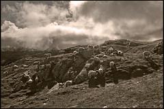 Dessine moi un mouton . Draw me a sheep. On the Matterhorn. No. 2314. (Izakigur) Tags: blackandwhite alps alpes schweiz switzerland sheep swiss bible zermatt matterhorn antoinedesaintexupry svizzera alpi sheeps mouton thelittleprince cervin musictomyeyes myswitzerland lasuisse dessinemoiunmouton drawmeasheep nikond700 nikkor2470f28 vervino laventuresuisse