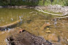 Eastern Smooth Froglet (J.P. Lawrence Photography) Tags: australia 2016 vertebrates victoria myobatrachidae spring anura geocrinia victoriana travel amphibians toongabbie amphibia amphibian anuran australia2016 easternsmoothfrog frog frogs geocriniavictoriana herp herpetology herps salientia spring2016 vertebrata vertebrate