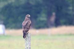 buse variable ( Buteo buteo ) Ploemel 160619c2 (pap alain) Tags: france bretagne morbihan buteobuteo oiseaux commonbuzzard erdeven rapaces busevariable accipitrids