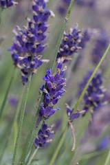 IMG_4884 (ElsSchepers) Tags: hasselt natuur vlinders kuringen stokrooie limburglavendel lavendelhoeve