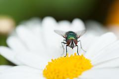 1618 (.niraw) Tags: kln flora fliege makrofotografie blume niraw unschrfe fokus facettenauge