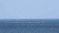 Northern Gannets (Boganeer) Tags: ocean sea canada bird nature water birds animal fauna canon video fishing feeding wildlife flock flight attack diving aves maritime princeedwardisland feed splash canoneos pei gulfofstlawrence avian seabird maritimes gannet atlanticcanada northerngannet morusbassanus morus canon600d canont3i canonrebelt3i