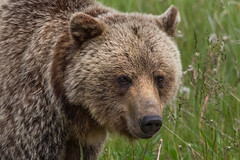 Portrait of a Grizzly (murph le (Mostly away)) Tags: bear portrait nature animal kananaskis wildlife alberta grizzly canon6d