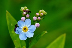 forget-me-not (Suzie Noble) Tags: flower water forgetmenot wildflower bog strathglass struy horseshoebog