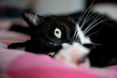 TGIF (Fardo.D) Tags: karel tuxedo kitty bed pet animal gato chat katze face portrait eye paw