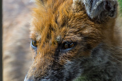 Close encounter (keith.gallie) Tags: nature warrington reserve moore fox