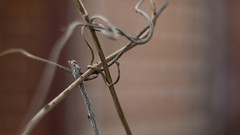 Tangled Curls (Theen ...) Tags: adelaide bokeh brown curls dried garden gate grid rebellious shoots sony theen trellis vine wisteria