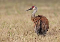 Sandhill Crane (sspike@rogers.com) Tags: crane sandhill large ontario canada steverossi nature canon 7d2 800mm