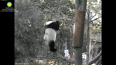 2016_08-11 (gkoo19681) Tags: beibei treetime climbing dangling ccncby nationalzoo