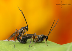 Mating ichneumon wasps (John Chorley) Tags: wasp garden mating macro closeup 2016 nature nikkor105mmlens wildlife johnchorley ichneumon