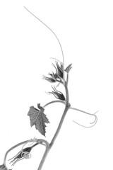 Cucurbita in Black and White (suzanne~) Tags: squash pumpkin gourd cucurbita blackandwhite botanic whitebackground plant leaf bud tendril stem